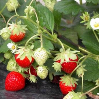 plants-de-fraisiers-