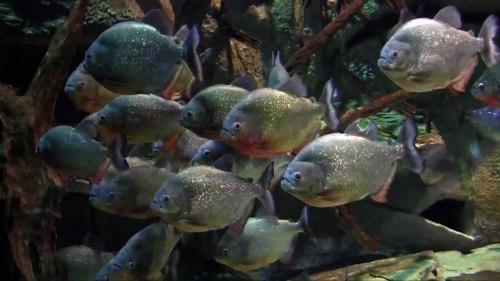 piranha aquarium Medellin