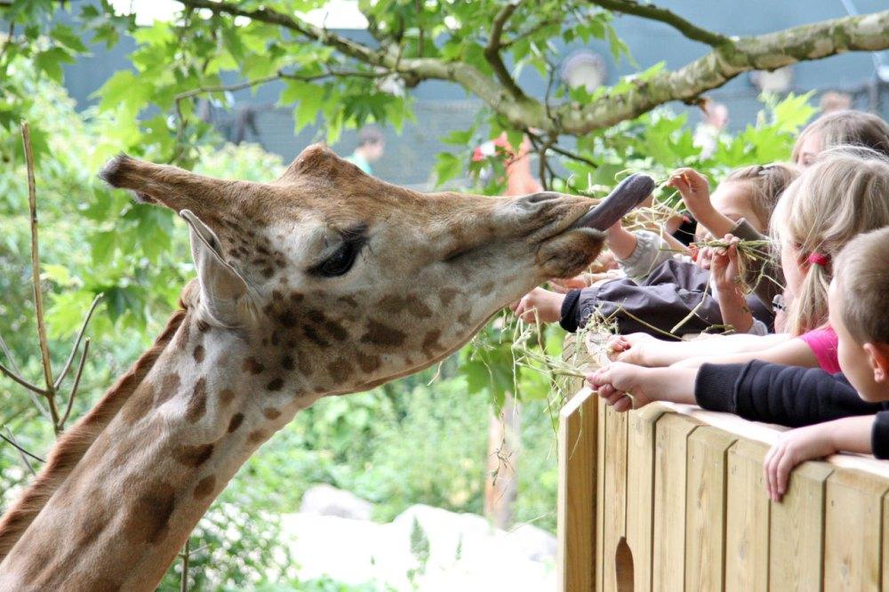 belvédère des girafes